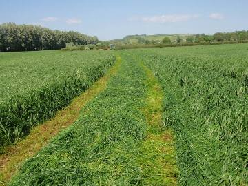 Short Term Silage Production - Rapier (20kg) grass seed