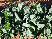 Gruner Angeliter Kale Seed (Treated) - 5kg