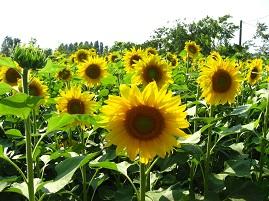 Dwarf Sunflower (5kg)