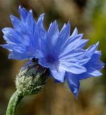 Cornfield Annuals - PRO Flora 1